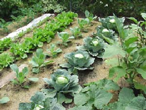 Photo of our winter vegetable garden